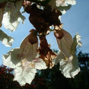 Trompetenbaum Bluete Catalpa bignonioides 08