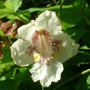 Trompetenbaum Bluete Catalpa bignonioides 14