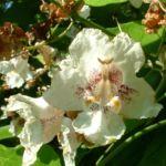 Trompetenbaum Bluete Catalpa bignonioides 15