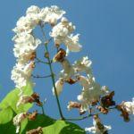Trompetenbaum Bluete Catalpa bignonioides 16