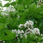 Trompetenbaum Catalpa bignonioides 01