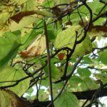 Bild: Gewöhnlicher Trompetenbaum Blatt grün Blüte weiß Catalpa bignonioides