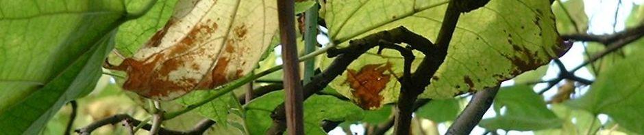gewoehnlicher-trompetenbaum-blatt-gruen-bluete-weiss-catalpa-bignonioides