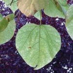 Trompetenbaum Catalpa bignonioides 03