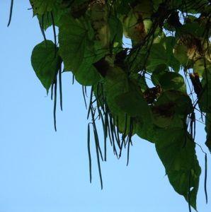 Trompetenbaum Catalpa bignonioides 04