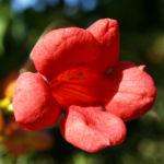 Trompetenblume Bluete rot Campsis radicans 05
