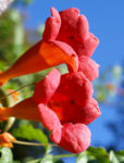 Trompetenblume Bluete rot Campsis radicans 08