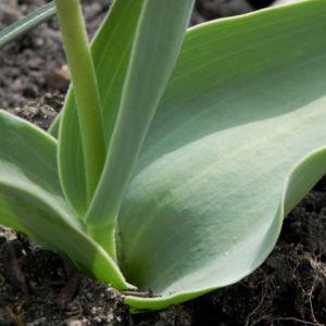 Tulpe Blatt gruen Tulipa 01
