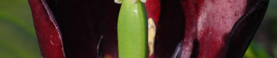 tulpe-bluete-dunkelrot-tulipa