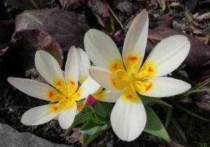 Tulpe Bluete gelb rot Tulipa 01