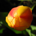 Tulpe Bluete gelb rot Tulipa 03