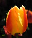 Bild: Tulpe Hybride Blüte gelb rot Tulipa