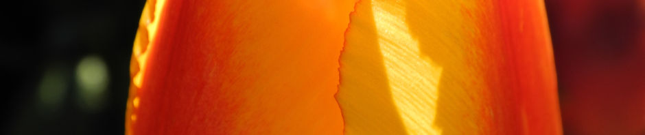 tulpe-hybride-bluete-gelb-rot-tulipa