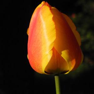 Tulpe Bluete gelb rot Tulipa 06