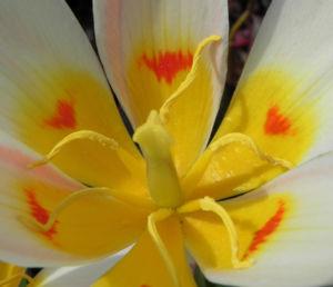 Tulpe Bluete gelb rot Tulipa 07
