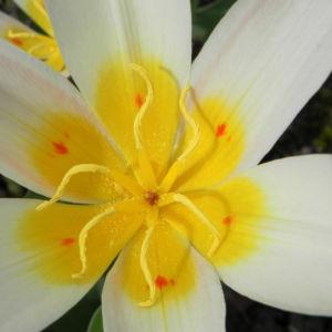 Tulpe Bluete gelb rot Tulipa 09