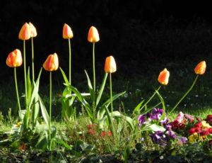 Tulpe Bluete gelb rot Tulipa 10