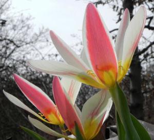 Tulpe Bluete gelb rot Tulipa 13