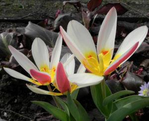 Tulpe Bluete gelb rot Tulipa 15
