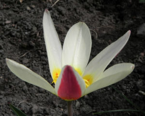 Tulpe Bluete gelb rot Tulipa 24