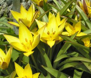 Tulpe Bluete gelb sternfoermig Tulipa urumiensis 02