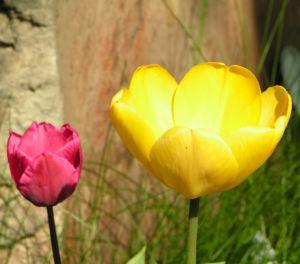 Tulpe Bluete gelb Tulipa 03