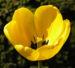 Zurück zum kompletten Bilderset Tulpe Blume Blüte gelb Tulipa