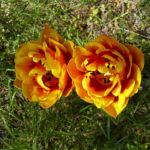 Tulpe Bluete gelbrot gefuellt Tulipa 01