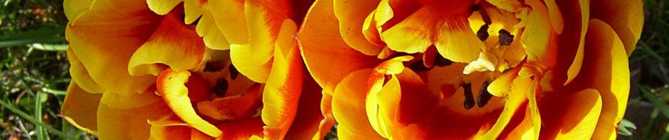 Anklicken um das ganze Bild zu sehen Tulpe Blüte gelbrot gefüllt Tulipa