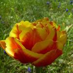 Tulpe Bluete gelbrot gefuellt Tulipa 02