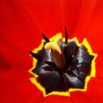Tulpe Bluete knallrot Tulipa 03