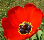 Tulpe Bluete knallrot Tulipa 04