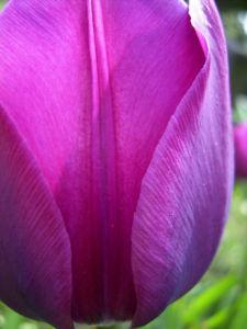 Tulpe Bluete lila Tulipa 02