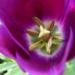 Zurück zum kompletten Bilderset Tulpe Blüte lila Tulipa