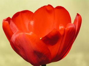 Tulpe Bluete rot Tulipa 01