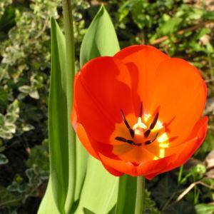 Tulpe Bluete rot Tulipa 02
