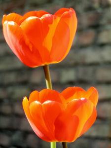 Tulpe Bluete rot Tulipa 03