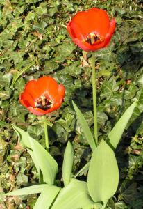 Tulpe Bluete rot Tulipa 04