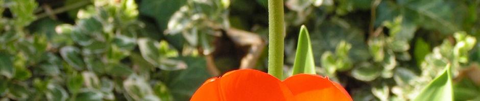 Anklicken um das ganze Bild zu sehen Tulpe Blume Blüte rot Tulipa