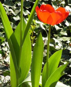 Tulpe Bluete rot Tulipa 08