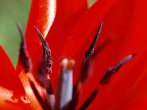 Tulpe Blütenkelch rot Tulipa hybride 07