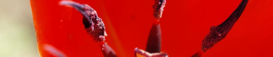 Anklicken um das ganze Bild zu sehen Tulpe Blütenkelch rot Tulipa hybride