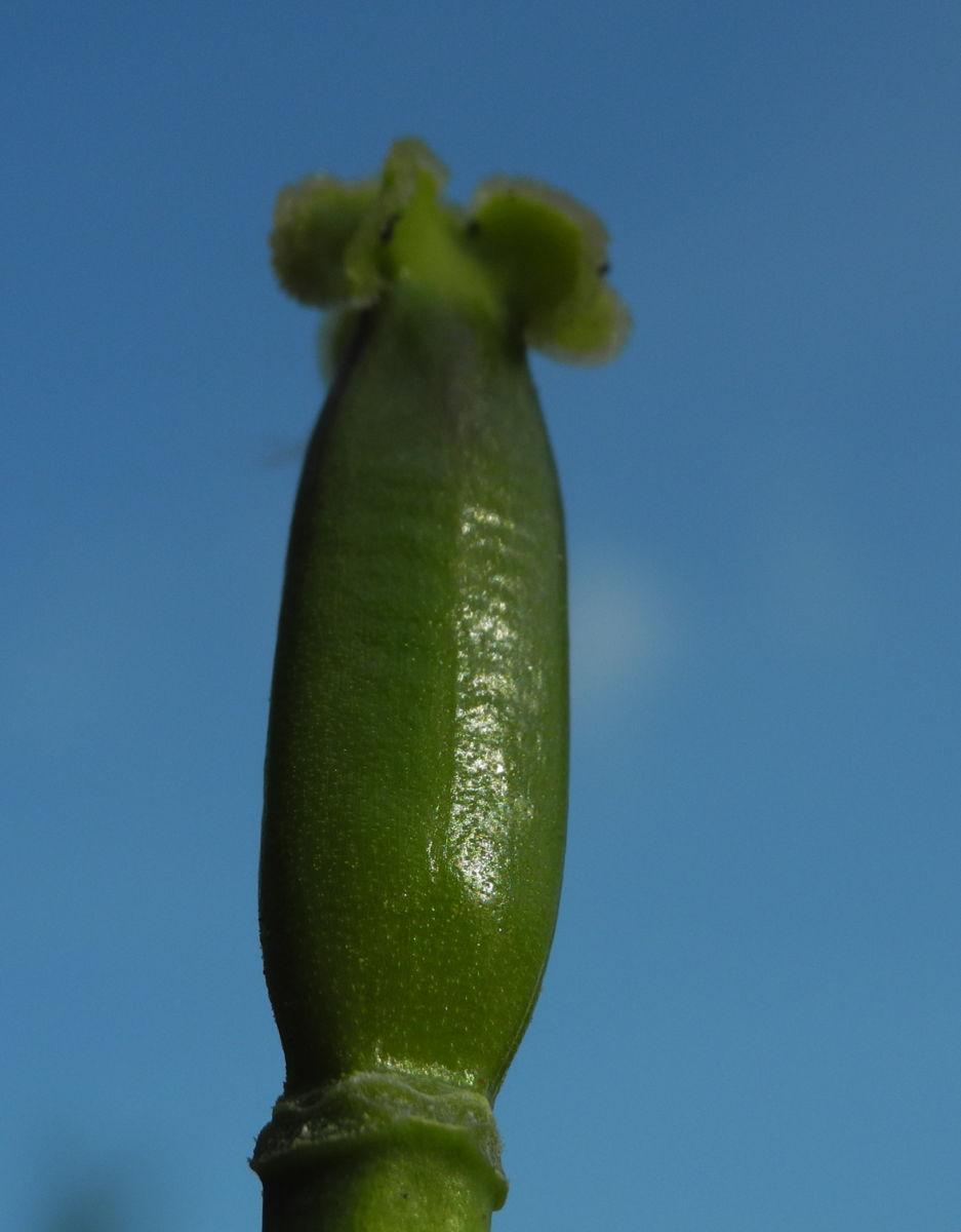 Tulpe Stempel gruen Tulipa