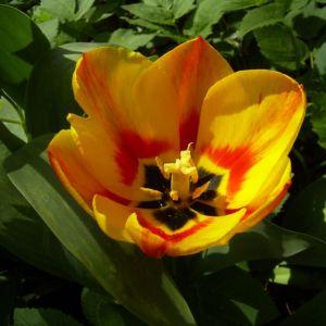 Tulpe gelb rot Tulipa 01