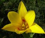 Tulpe gelb rote Punkte Tulipa 03