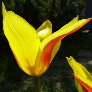 Tulpe gelb rote Punkte Tulipa 04