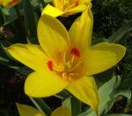 Tulpe gelb rote Punkte Tulipa 07