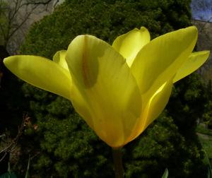 Tulpe gelb Tulipa 04