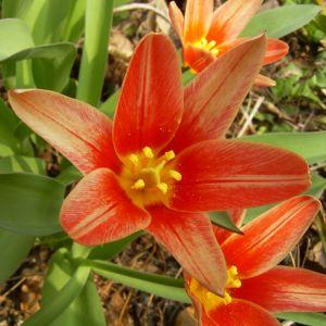Tulpe klein rot weiss Tulipa 04