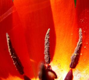 Tulpe rot Tulipa 01